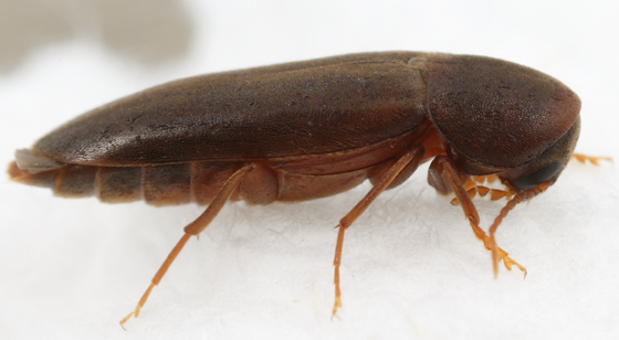 false darkling beetle