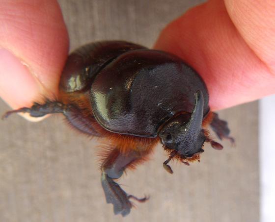Rhinoceros Beetle? - Xyloryctes jamaicensis