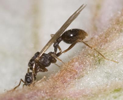 Spine-waisted Ant - Aphaenogaster