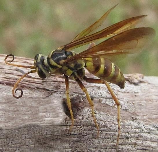Vespidae - Poecilopompilus flavopictus - female