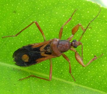 Assassin bug - Rasahus thoracicus