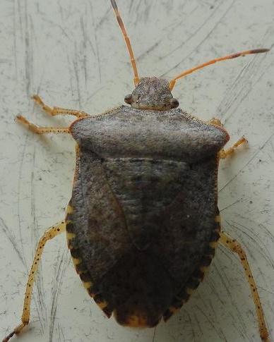Hemiptera - Euschistus conspersus