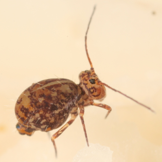 Dicyrtomid - Ptenothrix marmorata