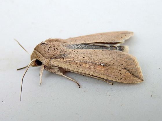 Armyworm - Mythimna unipuncta - female