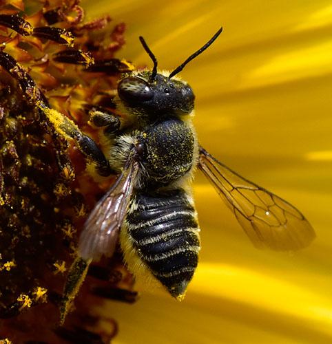 Bee from West Texas Davis Mountains High Desert - Megachile