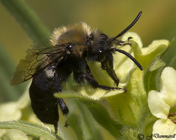 Carpenter Bee? - Melecta