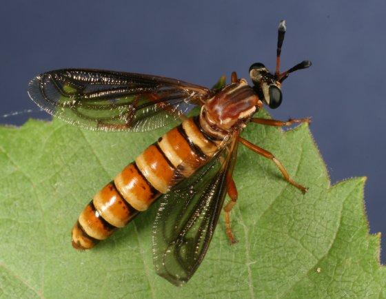 fly 35 - Nemomydas brachyrhynchus - female