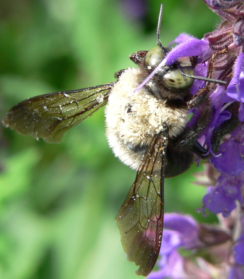 Eastern Carpenter Bee - Xylocopa virginica - male