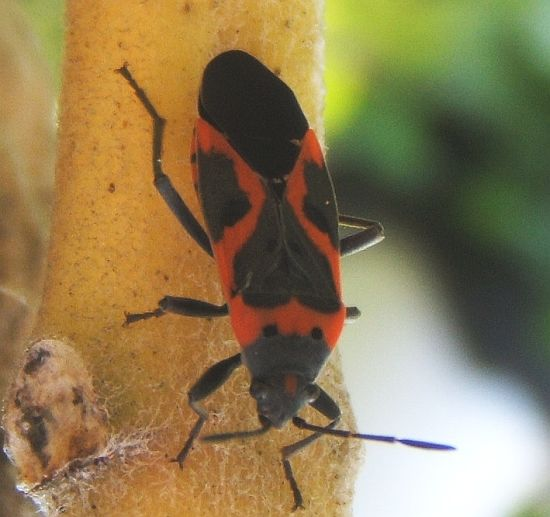 Black and red bug - Lygaeus kalmii