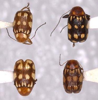 Bassareus clathratus (F. E. Melsheimer)  - Bassareus clathratus