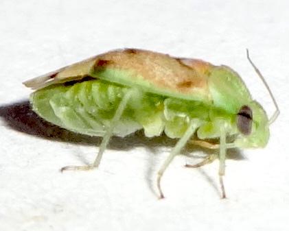 Seed Bug - Dichrooscytus