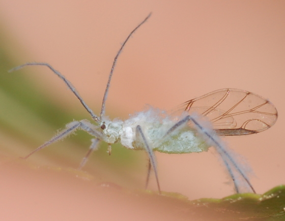 Woolly aphid on black birch