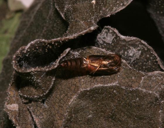 Tortricidae, Sparganothis Fruitworm, spent pupal case - Sparganothis sulfureana