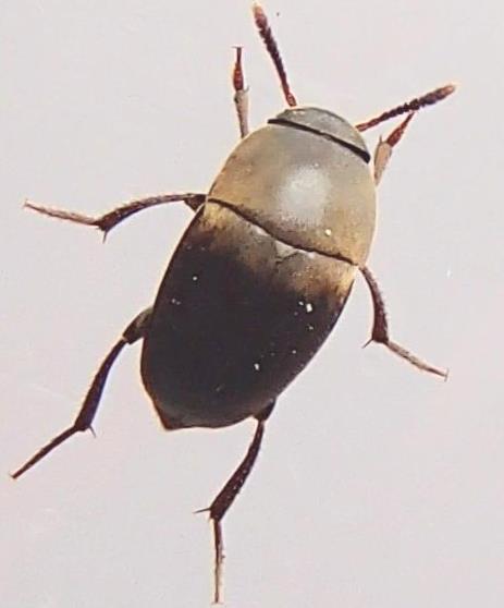 Bug - Ptomaphagus ulkei - male