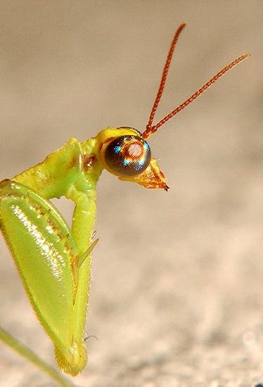 Mantisfly Portrait: - Zeugomantispa minuta