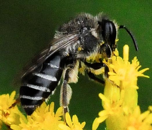 Anthophila (Apoidea) - Bees - Colletes