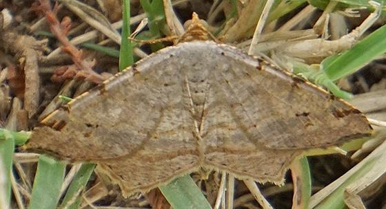 Red-headed Inchworm Moth - Macaria bisignata