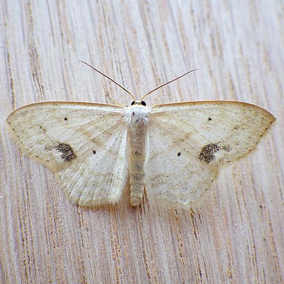 Large Lace-borer (Scopula limboundata)  - Scopula limboundata
