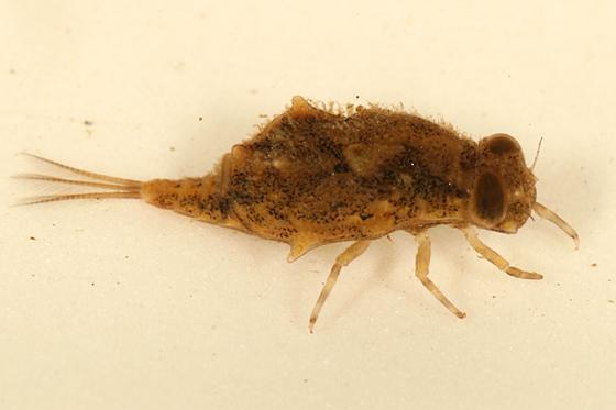 Mayfly Larva - Baetisca laurentina