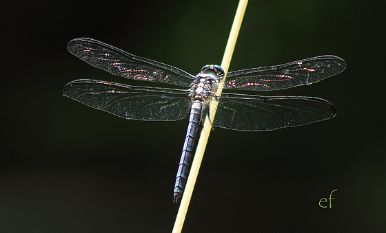 Unknown - Libellula vibrans - male