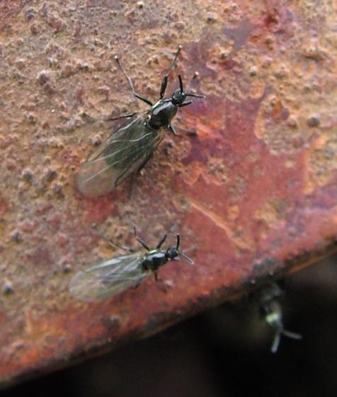 Minute Black Scavenger Flies - Scatopse