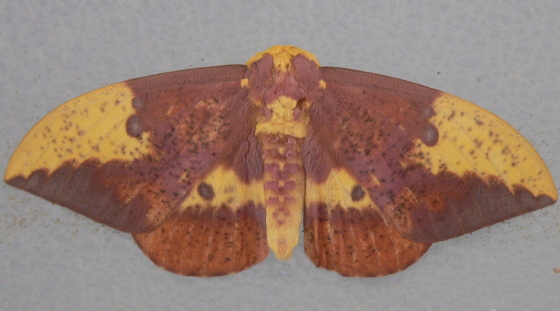 Imperial Moth - Eacles imperialis - male