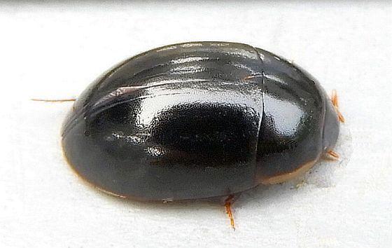 Pennsylvania Beetle for ID - Enochrus