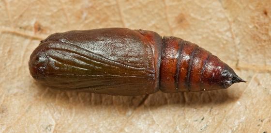 Geometrid moth pupa - Stenoporpia macdunnoughi
