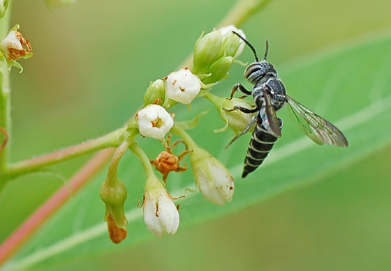 Wasp or bee - Coelioxys modestus