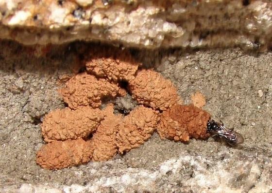 Spider Wasp (?) Building Mud Nests