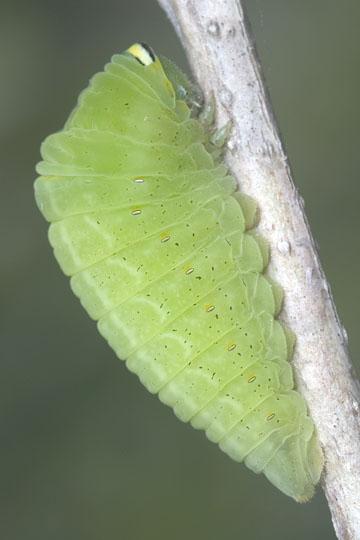 Zebra Swallowtail - final instar pre-pupal larva - Eurytides marcellus - female