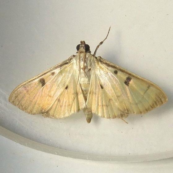 Hodges #5248 - Sweet-potato Leaffolder Moth - Lygropia tripunctata