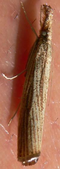 Vagabond Crambus - Agriphila vulgivagellus