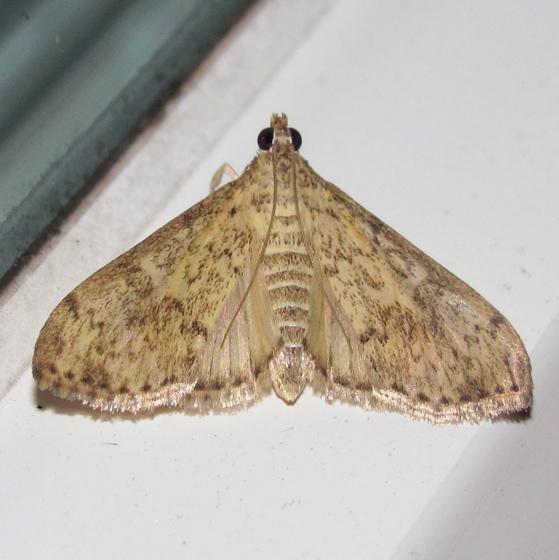 Bougainvillea Caterpillar Moth, #5267 - Asciodes gordialis