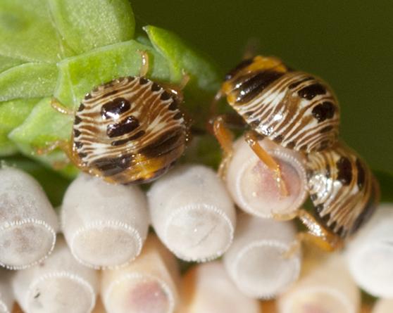 Stink Bug hatchlings - Chinavia hilaris