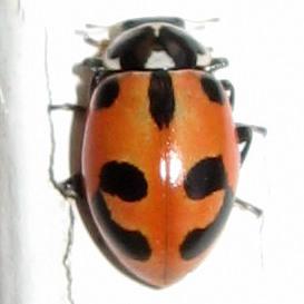 Lady Beetle ID? - Hippodamia parenthesis