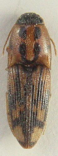 Conoderus pictus