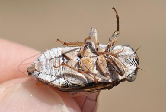 Diceroprocta eugraphica - male