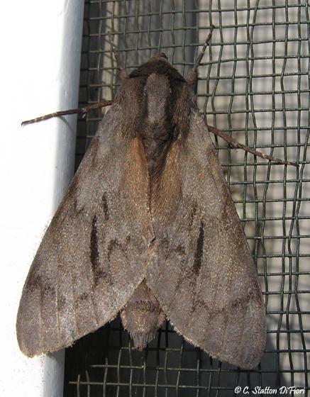 Moth - Lapara coniferarum