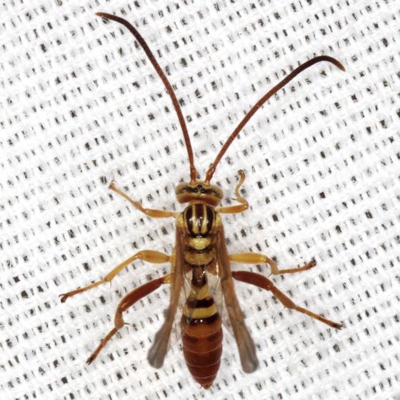 Ichneumon Wasp - Neotheronia bicincta - male
