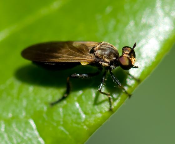 Robberfly - Eudioctria sackeni