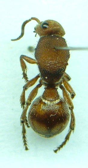 Another Mutillid - Dasymutilla asopus - female