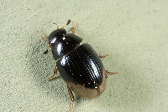 Beetle - Cercyon praetextatus