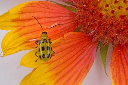 Yellow and black beetle? - Diabrotica undecimpunctata