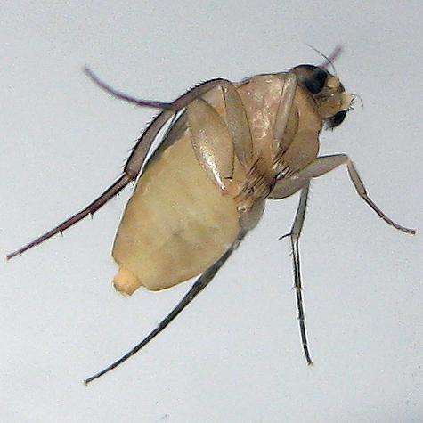 Phalacrotophora epeirae