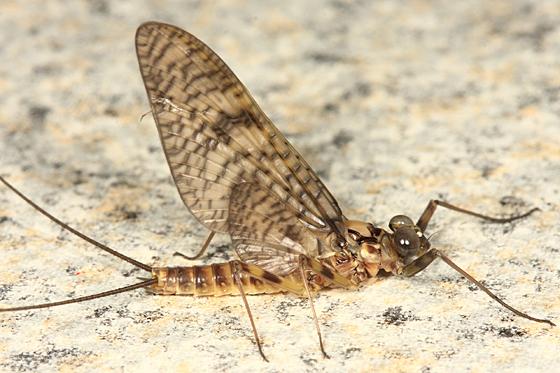 Mayfly - Maccaffertium vicarium