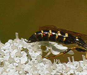 Tiphiid Wasp - Myzinum - male