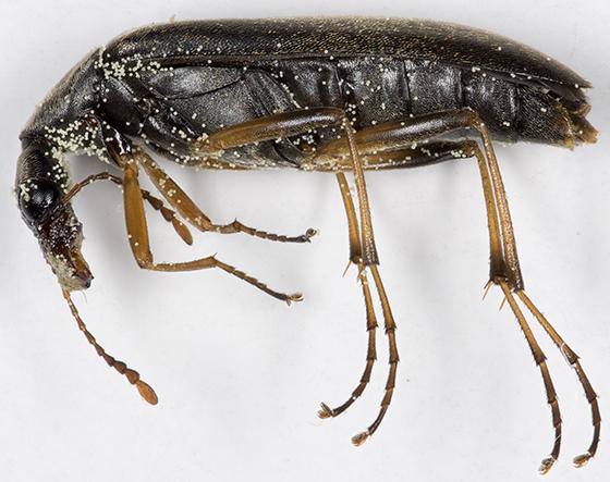 False Longhorn Beetle - Cephaloon lepturides