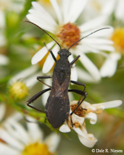 Black winged insect - Alydus eurinus