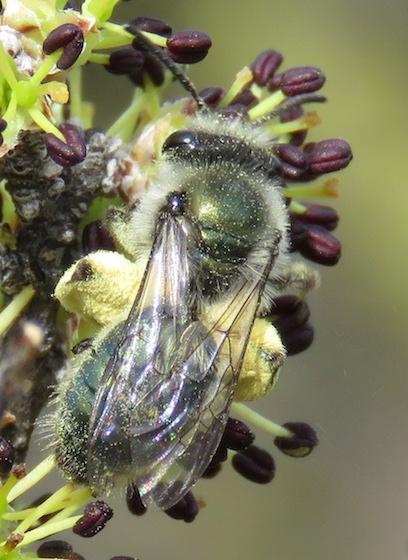 bee on desert olive - Andrena impolita
